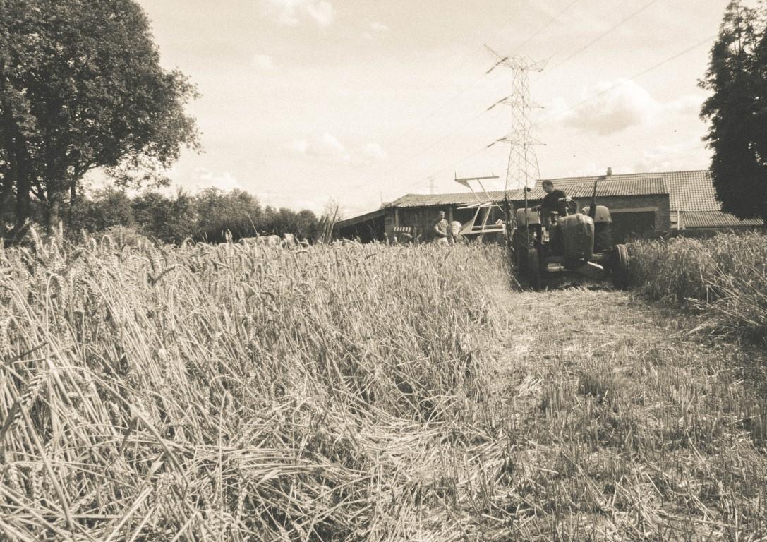 Wheat harverst